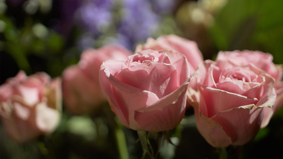 Closeup of pink roses being filming for a promotional video in Ilkley